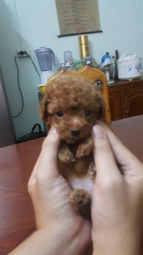 Bán Poodle Size TEACUP và TINY nhà nuôi đẻ tại Hà Nội