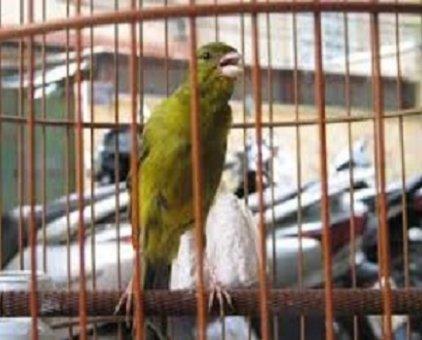 Chim thanh yến hót căng                 tại Hà Nội