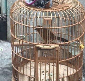 Chim dạng người cả ngày ktl chim thuần                 tại Đồng Nai