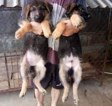 Chó becgie thuần chủng                 tại Đắk Lắk