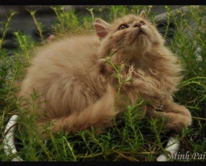 Cục bông lông xù, giống mèo chất lượng                 tại TP Hồ Chí Minh