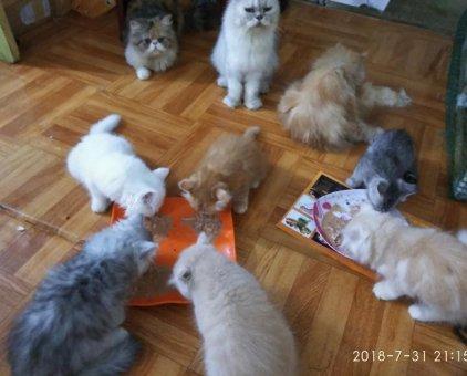 Mèo lông dài                 tại Hà Nội