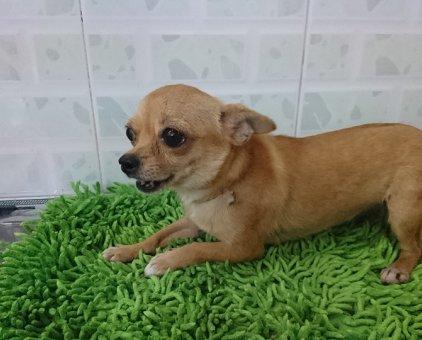 Chó Chihuahua                 tại TP Hồ Chí Minh
