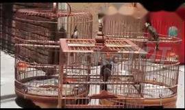 . chim chào mào tại gò vấp tphcm                 tại TP Hồ Chí Minh