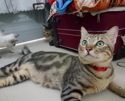 Mèo Bengal lai                 tại TP Hồ Chí Minh