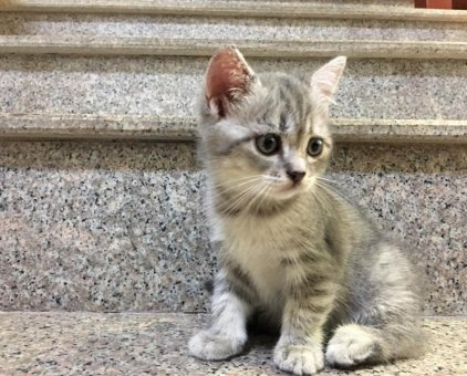 Bán mèo Scottish tabby cái                 tại Hà Nội