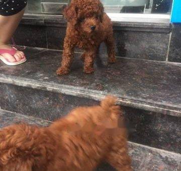 Cần bán chó poodle                 tại Hà Nội