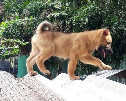 Chó HUYỀN ĐỀ KÉP BỐN CHÂN - BÁT LONG CẨU. ĐỰC.                 tại Hà Nội