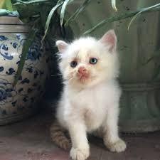 2 Bé Mèo Anh LD màu trắng 1 tháng tuổi tại Hồ Chí Minh