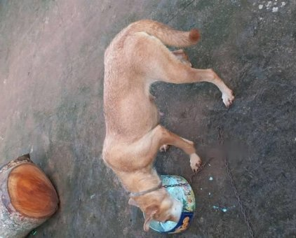 Chó lai becgie                 tại Đắk Lắk