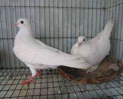 bán chim bồ câu pháp giống đang đẻ giá 300k/cặp                 tại Đồng Nai