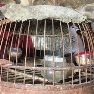 Bán chim cu gáy thuần                  tại Hà Nội