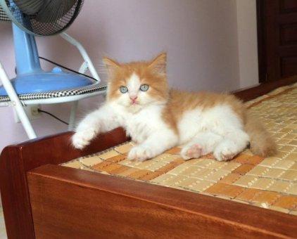 Bán mèo xinh                 tại Hà Nội