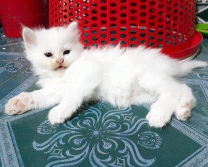 Bán boss mèo ALD thuần chủng                 tại TP Hồ Chí Minh