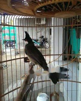 Chim 3 mùa mới bẩy,được 1 tuần ko một chúc tật lối                 tại TP Hồ Chí Minh