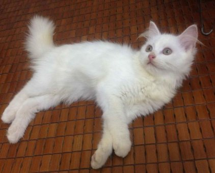 Mèo Nga lai Anh lông dài tìm chủ (đã tiêm phòng đầy đủ)                 tại Thái Nguyên