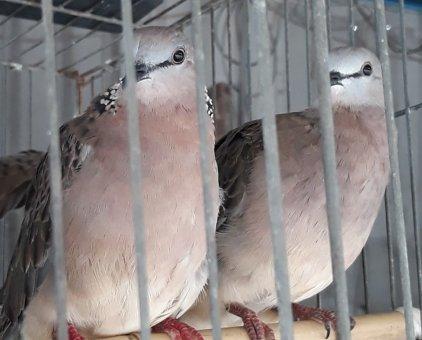 Chim cu bổi                 tại Bình Dương