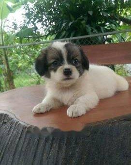 Chó cảnh bkln                 tại Thái Nguyên