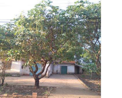 Lộc vừng 15 năm tuổi (3 cây)                 tại Đồng Nai