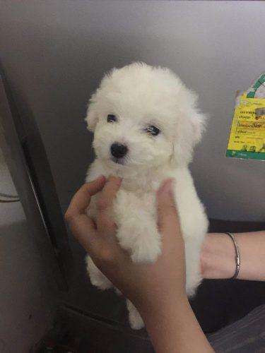 Bán cún tiny poodle thuần chủng tại SG tại Hồ Chí Minh