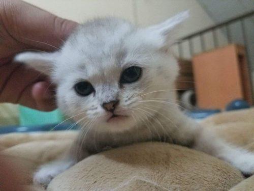 Bán mèo Scottish Fold màu Silver tại HCM tại Hồ Chí Minh