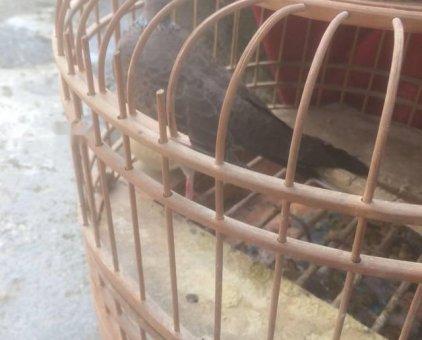 Chim cu gáy thuần                 tại Hà Nội