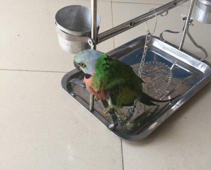 Chim ngực hồng tìm chủ                 tại TP Hồ Chí Minh