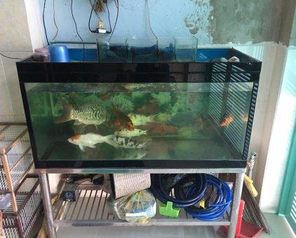 Thanh lý 7 con cá Koi + hồ cá                 tại TP Hồ Chí Minh
