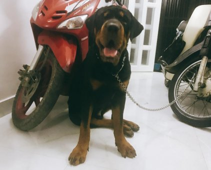 Bán cặp chó Rottweiler thuần chủng                 tại TP Hồ Chí Minh