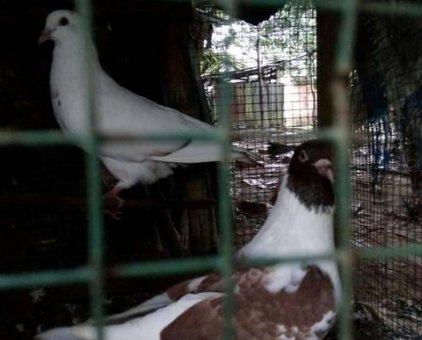 Bán bồ câu gà gần đẻ                 tại Cần Thơ