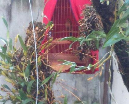 Bán chim hoạ mi mái                  tại Thừa Thiên Huế