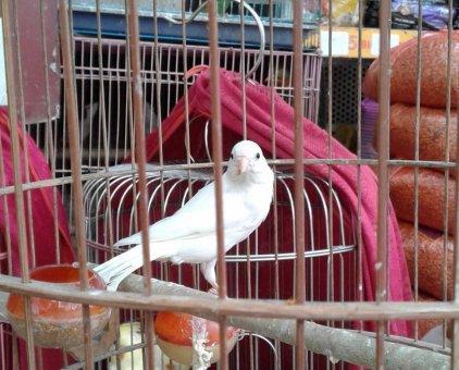 Bán chim bạch yến hót căng 1.800.000đ                  tại Hà Nội