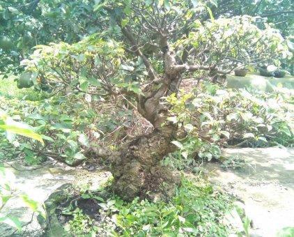 Cây sung                 tại Đồng Nai