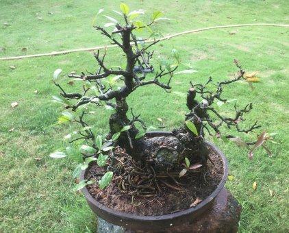Bán cây lộc vừng bonsai                 tại Đồng Nai