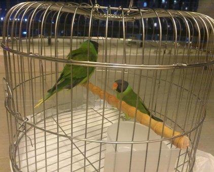 Bán đôi vẹt đực và cái                 tại Hà Nội
