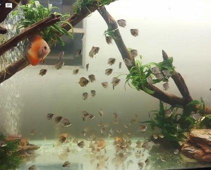 Cá dĩa bột xanh, size 1.5-2 cm                 tại Đà Nẵng