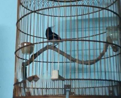Chim chích chòe than                 tại TP Hồ Chí Minh