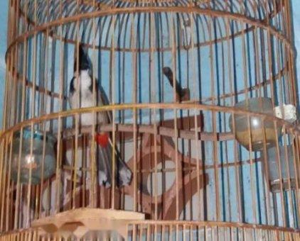 Bán chim chào mào quảng ngãi                 tại TP Hồ Chí Minh