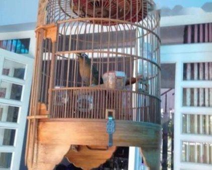 Bán chim nhà nuôi tốt                 tại TP Hồ Chí Minh