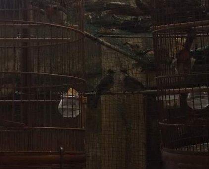 Chim chào mào cần bán                 tại TP Hồ Chí Minh