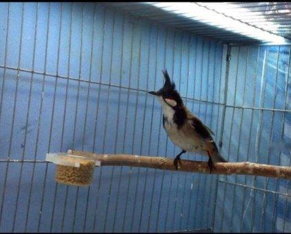 Huế mồng lân lanh chim                 tại TP Hồ Chí Minh
