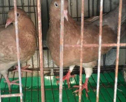 Bồ câu gà Mỹ                 tại TP Hồ Chí Minh
