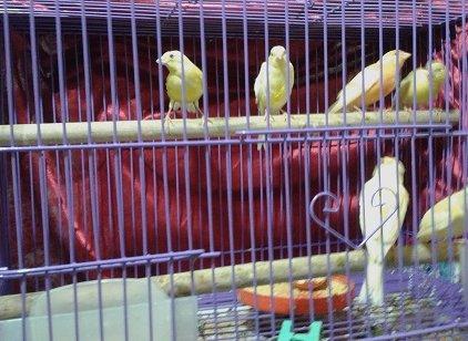 Bán chim yến tơ                 tại Hà Nội