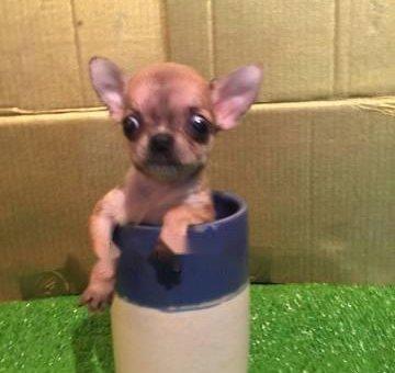 Chihuahua cái bỏ ly                 tại TP Hồ Chí Minh