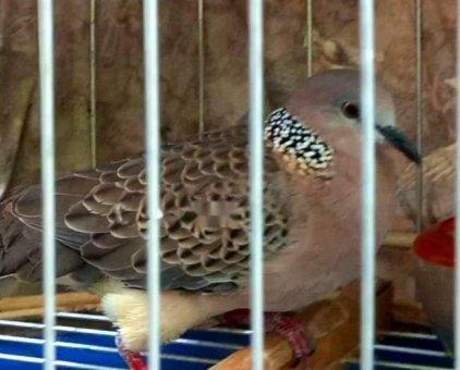 Chim cu gáy ms 21.                 tại TP Hồ Chí Minh