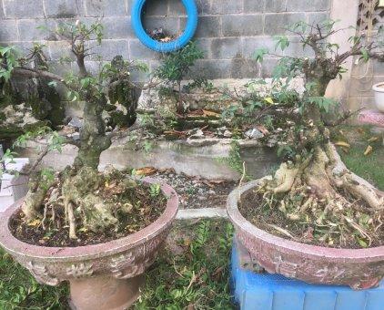 Mai chiếu thuỷ bonsai                 tại Đồng Nai