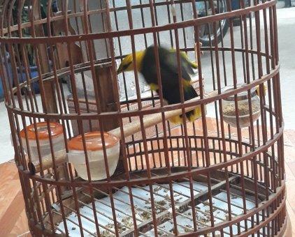 Chim sáo Thái                 tại Bình Dương