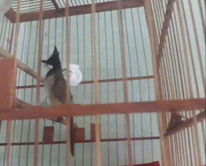 Chào mào gl gà                 tại Đồng Nai