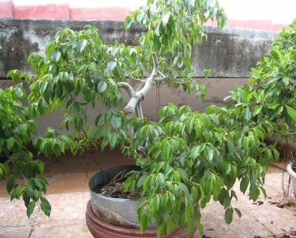 Cây sanh bonsai                 tại Đà Nẵng