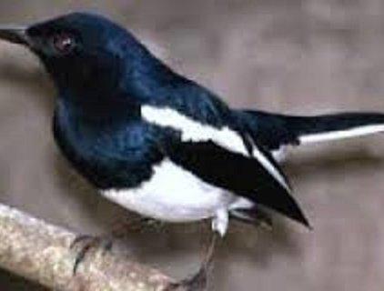 Bán chim chòe than                 tại Hà Nội